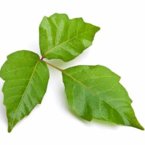 Poison ivy is a common nuissance and one of the poisonous plants to avoid in Massillon, OH.