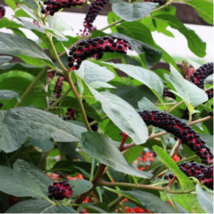 Pokeweed is one of the most poisonous plants to avoid here in Cleveland, OH.