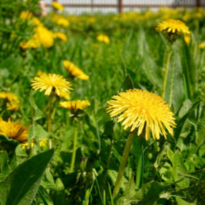 Giving the gift of a weed-free lawn with the Rankin Lawn Care Program is the best gift of 2019 because you'll be eliminating dandelions and other ugly weeds from your property.
